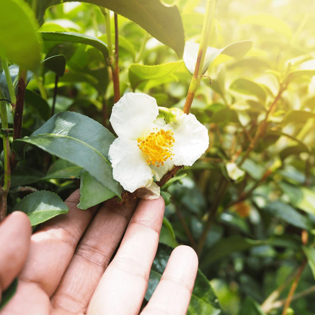fleur de thé blanc